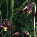 Schwarzviolette Akelei-