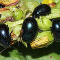 Chrysolina haemoptera