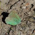 Zipfelfalter-Brombeer-Cllophrys rubi