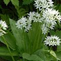 Bärlauch-Gewürzpflanze