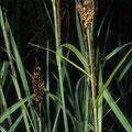 Gräser: Segge-Braune