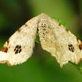 Hellgrauer Eckflügelspanner Macaria notata