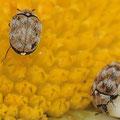Wollkraut-Blütenkäfer Anthrenus verbasci