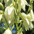 Kerzen-Palmlilie Yucca gloriosa