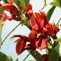 Korallenbaum Erythrina crista-galli
