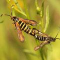 Hornklee-Glasflügler Bembecia ichneumoniformis
