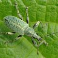 Brennessel-Grünrüssler Phyllobius pomaceus 5