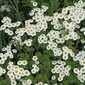 Straußblütige Wucherblume