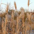 Gräser: Chinaschilf