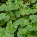 Scharbockskraut-Gemüse-Salatpflanze