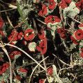Flechten: Cladonia floerkeana