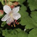 Balkan-Storchenschnabel-Geranium macrorhizum