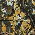 Anamorphe-Haplotrichum aureum