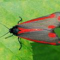 Blutbär Tyria jacobaeae 2