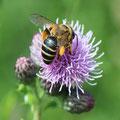 Biene auf Kratzdistel