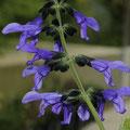 Gebirgs-Salbei Salvia atrocyanea