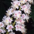 Kastanie-Ross-Blüte