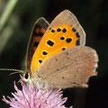 Bläuling-Kleiner Feuerfalter Lycaena phlaeas