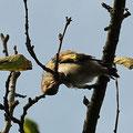 Distelfink Jungvogel