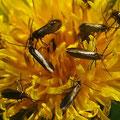 Urmotte Micropteris calthella