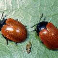 Pappelblattkäfer Chrysomela populi