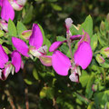Kreuzblume-Polygala myrtifolia