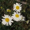 Kamille-Heilpflanze