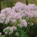 Akelei-Wiesenraute-Thalictrum aquilegiifolium