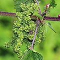 Brennessel-Gemüsepflanze