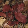 Eiche-Amerikanische-Blätter