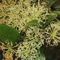 Feuerradbaum (Stenocarpus sinuatus)