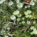 Flechten: Cladonia deformis