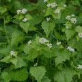 Knoblauchrauke-Gemüse-Salatpflanze