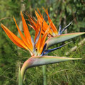 Paradiesvogelblume-Strelitzia reginae