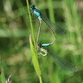 Große Pechlibelle Ischnura elegans im Paarungsrad