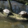 Rotwangen-Schildkröten