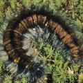 Brombeerspinner Macrothylacia rubi 2