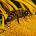 Honigbiene auf Große Telekie