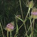 Karde-Wilde-Heilpflanze