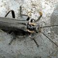 Dunkler Fliegenkäfer Cantharis obscura