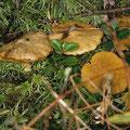 Suillus flavidus Moor-Schmierröhrling