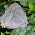 Zipfelfalter-Blauer Eichen-Qercusia quercus