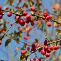 Kirschapfel Malus baccata var. mandshurica