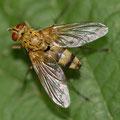 Engerlingraupenfliege Dexiosoma caninum