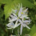 Rispige Graslilie (Anthericum ramosum)