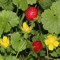 Scheinerdbeeren mit Blüten