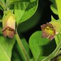 Schwarze Tollkirsche-Atropa belladonna