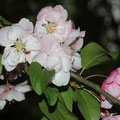 Kirschapfelblüte Malus evereste-hybride