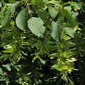 Hainbuche Carpinus betulus