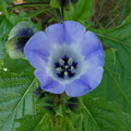 Blaue Lampionblume